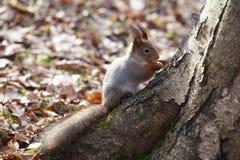 Lo scoiattolo si siede su un albero Fotografia Stock