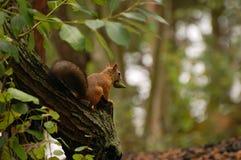 Lo scoiattolo si siede su un albero Immagini Stock