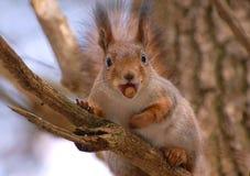 Lo scoiattolo si siede su un albero Immagine Stock