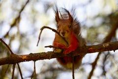Lo scoiattolo si siede su un albero e meditatamente guarda Fotografia Stock Libera da Diritti
