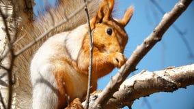 Lo scoiattolo si siede su un albero archivi video