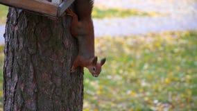 Lo scoiattolo si siede sull'albero e mangia dalla depressione archivi video