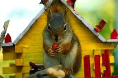 Lo scoiattolo si unisce per la prima colazione Immagini Stock Libere da Diritti
