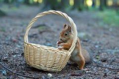 Lo scoiattolo sta mangiando le nocciole dal vimine Fotografie Stock Libere da Diritti
