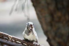 Lo scoiattolo sta rosicchiando qualcosa, lungamente e le zanne taglienti nella bocca Fotografie Stock