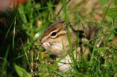 Lo scoiattolo stava mangiando le nocciole Fotografia Stock Libera da Diritti