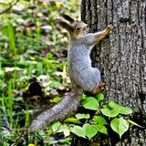 Lo scoiattolo su un ramo del pino. Immagine Stock Libera da Diritti
