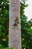 Lo scoiattolo sul cocco, scoiattolo guarda la macchina fotografica dal cocco immagine stock