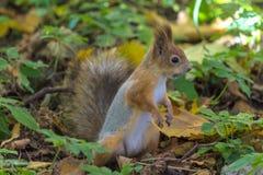 Lo scoiattolo sul terreno del parco di autunno o della foresta nel giorno soleggiato caldo fra l'erba e le foglie cadute gialle immagine stock