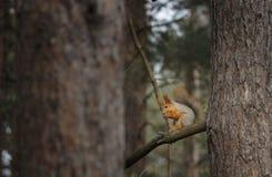 Lo scoiattolo sull'albero mangia Fotografia Stock