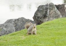 Lo scoiattolo sull'Idaho cade zona verde Immagini Stock Libere da Diritti