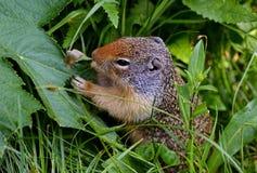 Lo scoiattolo a terra di Thompson che mangia le piante Immagine Stock Libera da Diritti