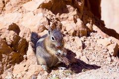 Lo scoiattolo a terra dorato-avvolto (lateralis di Callospermophilus) Immagine Stock Libera da Diritti