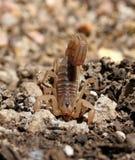 Lo scorpione - chiuso a chiave & ha caricato Immagine Stock