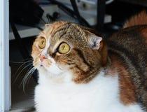 Lo Scottish del gattino piegato fotografia stock libera da diritti