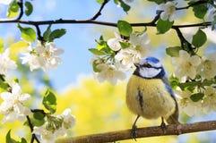 Lo sfondo naturale della primavera con poco capezzolo sveglio dell'uccello che si siede nel può in fare il giardinaggio su un ram fotografia stock libera da diritti