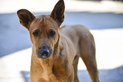 Lo sguardo del cane all'oggetto Fotografie Stock Libere da Diritti