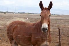 Lo sguardo del mulo Immagine Stock