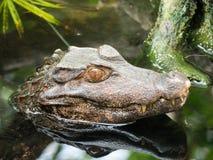 Lo sguardo dell'alligatore Fotografie Stock