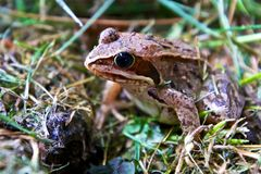 Lo sguardo della rana curiosa Fotografia Stock Libera da Diritti