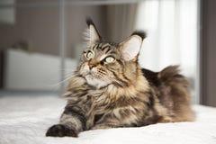 Lo sguardo di bello vstorinu del gatto di Maine Coon su un fondo bianco fotografia stock
