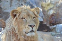 Lo sguardo di un leone Fotografia Stock Libera da Diritti