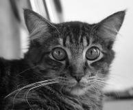 Lo sguardo fisso del gatto Immagine Stock