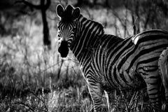 Lo sguardo fisso della zebra nel cespuglio immagini stock libere da diritti