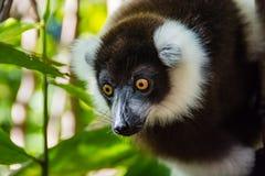 Lo sguardo fisso delle lemure Fotografia Stock Libera da Diritti