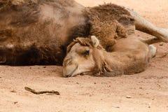 Lo sguardo sonnolento di un cammello Immagine Stock