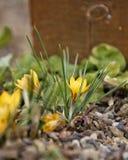 Lo shaffron giallo minuscolo del croco germoglia la fioritura fotografia stock libera da diritti