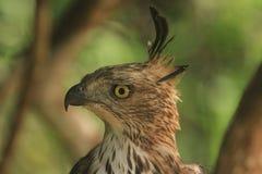 Lo Sharp osserva, l'obiettivo dell'immagine, Hawk Eagle crestato, cresta dritta lunga, raramente sale, piano di ali immagine stock libera da diritti