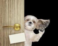 Lo shitzu felice dà una occhiata a fuori da dietro la porta Isolato sul nero immagini stock