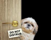 Lo shitzu sveglio dà una occhiata a fuori da dietro la porta Isolato sul nero immagine stock
