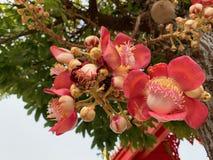 Lo Shorea robusta, Dipterocarpaceae, alberi duri indiani del fiore rosso di Sala è importante a buddismo immagini stock libere da diritti