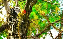 Lo Shorea robusta o fiori della palla di cannone sta fiorendo Fotografia Stock Libera da Diritti