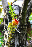 Lo Shorea robusta o fiori della palla di cannone sta fiorendo Immagine Stock Libera da Diritti