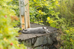 Lo Shorthair britannico con la pelliccia di gray blu che si trova nel giardino fotografie stock libere da diritti