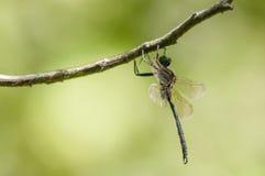 Lo smeraldo di Hine Fotografia Stock