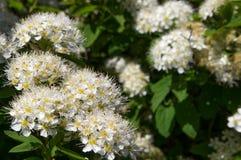 Lo spirea di Bush fiorisce il primo piano, bianco fotografie stock