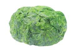 Lo spirogyra verde è alghe dell'acqua dolce ha calcio molto alto e beta-carotene, usato per la cottura, è popolare nel Nord e in  immagine stock