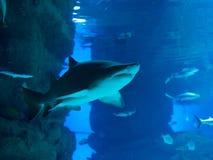 Lo squalo aggressivo nuota sopra voi fotografia stock libera da diritti