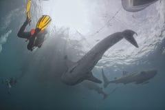 Lo squalo balena subacqueo nel mare blu profondo sembra attaccare Fotografie Stock Libere da Diritti