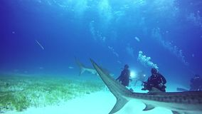 Lo squalo posa per il underwater della macchina fotografica sul fondo sabbioso di Tiger Beach Bahamas stock footage