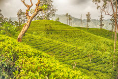 Lo Sri Lanka: campi del tè del Ceylon dell'altopiano in Ella Fotografie Stock Libere da Diritti