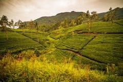 Lo Sri Lanka: campi famosi del tè dell'altopiano del Ceylon Immagine Stock Libera da Diritti