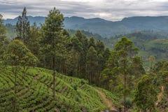 Lo Sri Lanka: campi famosi del tè dell'altopiano del Ceylon Immagini Stock Libere da Diritti