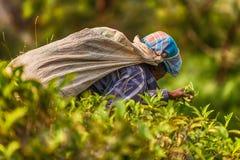 Lo Sri Lanka: collettore del tè con una borsa in piantagione Immagine Stock
