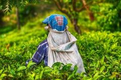 Lo Sri Lanka: collettore del tè con una borsa in piantagione Immagini Stock Libere da Diritti