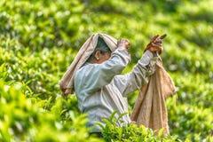 Lo Sri Lanka: collettore del tè con una borsa in piantagione Fotografia Stock